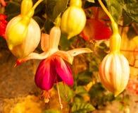 Zamyka w górę piękni mali koloru żółtego i czerwieni kwiaty i lekko rocznik obraz royalty free