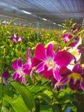 Zamyka w górę pięknych ćma orchidei obraz royalty free