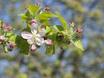 Zamyka w górę pięknych kwitnienie menchii okwitnięcia kwiatu jabłczanej gałązki, sele Zdjęcia Stock