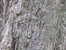 Zamyka w górę popielatej jednowiekowej sosny barkentyny Płatowata krakingowa drzewna barkentyna obrazy royalty free