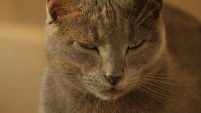 Zamyka w górę portreta śliczny kot rodziny odpoczywać zdjęcie wideo