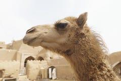 Zamyka w górę portreta śliczny wielbłąd w Garmeh wiosce, Iran Zdjęcie Stock