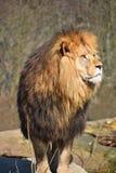 Zamyka w górę portreta Afrykański lew Fotografia Royalty Free