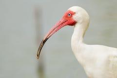 Zamyka w górę portreta biały ibis Zdjęcie Royalty Free