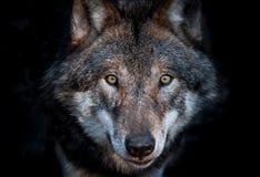 Zamyka w górę portreta europejski szary wilk fotografia royalty free