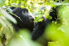 Zamyka w górę portreta halny goryl przy krótką odległością w naturalnym siedlisku Halnego goryla goryla beringei beringei Zdjęcia Royalty Free