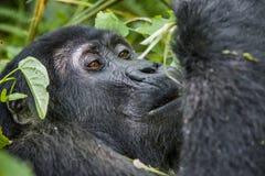 Zamyka w górę portreta halny goryl przy krótką odległością w naturalnym siedlisku Halnego goryla goryla beringei beringei Zdjęcie Royalty Free