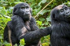Zamyka w górę portreta halny goryl przy krótką odległością w naturalnym siedlisku Halnego goryla goryla beringei beringei Obraz Stock