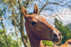 Zamyka w górę portreta młody arystokratyczny czerwonawy Akhal-Teke koń zdjęcia stock