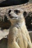 Zamyka w górę portreta ostrzegającego meerkat dopatrywanie Obraz Royalty Free