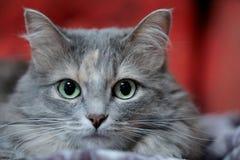 Zamyka w górę portreta puszysty popielaty kot z zielonymi oczami obrazy stock