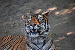 Zamyka w górę portreta Sumatran tygrysi huczenie obrazy stock