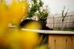 Zamyka w górę portreta tomcat Chantilly Tiffany odpoczynkowy i relaksuje na ścianie - słoneczny dzień Ciemny czarny kot z dużymi  zdjęcie stock