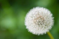 Zamyka w górę Pospolitego dandelion z dojrzałymi owoc (Taraxacum officinale) Zdjęcie Stock