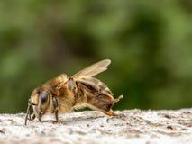 Zamyka w górę pracującej pszczoły na skale od obrazy stock
