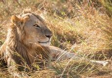 Zamyka w górę profilowego portreta młody dorosłej samiec lew z wysoką trawą wokoło jego backlit głowy obrazy stock