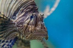 Zamyka w górę przyglądającej lew ryba Zdjęcia Stock