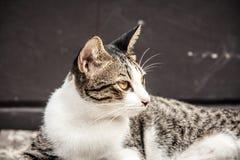 Zamyka w górę przyglądającej twarzy przybłąkany kot Zdjęcia Stock