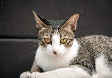 Zamyka w górę przyglądającej twarzy przybłąkany kot w portrecie Obrazy Stock