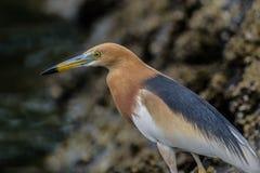 Zamyka w górę ptaka przy ancol plażą fotografia stock