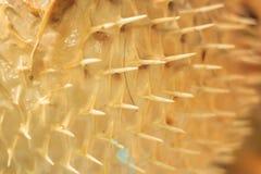 Zamyka w górę Puffer ryba skóry obraz royalty free
