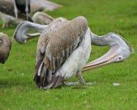Zamyka w górę Punkt Wystawiającego rachunek Pelikana Obrazy Royalty Free