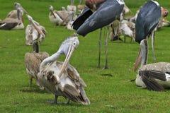 Zamyka w górę Punkt Wystawiającego rachunek Pelikana Obrazy Stock