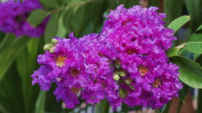 Zamyka w górę purpurowego crape mirtu kwiatu zdjęcie wideo