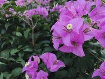 Zamyka w górę purpurowej Bougainvillea kwiatu tekstury dla tła i relaksuje pojęcie, świeżej fotografia stock
