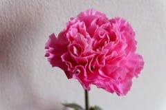 Zamyka w górę różowego goździka Obraz Royalty Free