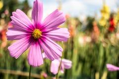 Zamyka w górę różowego kosmosu oin kwiatu pola obrazy royalty free
