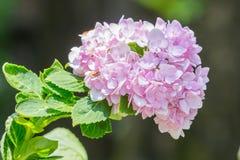 Różowa hortensja Fotografia Stock