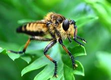 Zamyka w górę rabuś komarnicy Obraz Royalty Free