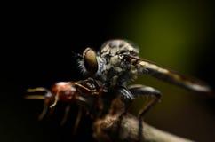 Zamyka w górę Robberfly łasowania zdobycza (Asilidae) Zdjęcie Royalty Free