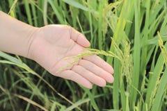 Zamyka w górę ryż na ręce w irlandczyku Fotografia Stock