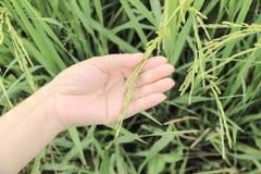 Zamyka w górę ryż na ręce w irlandczyku Obraz Stock