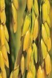 Zamyka w górę ryżowej rośliny Zdjęcia Royalty Free