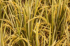 Zamyka w górę ryżowych poly Zdjęcie Stock