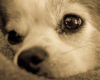 Zamyka w górę Słodkiej pies twarzy zdjęcia royalty free