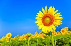 Zamyka w górę słoneczników Zdjęcia Royalty Free
