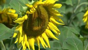 Zamyka w górę słoneczników z osy lataniem wokoło kwiatu zdjęcie wideo