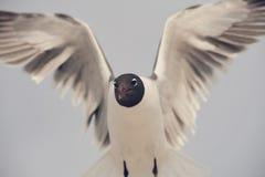 Zamyka w górę seabird przedłużyć swój skrzydła obraz stock