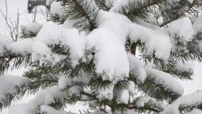 Zamyka w górę sosny zakrywającej z mrozem i śniegiem zbiory