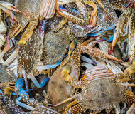 zamyka w górę strzału błękitni pływaccy kraby Zdjęcia Stock