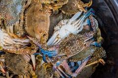 zamyka w górę strzału błękitni pływaccy kraby Obraz Stock