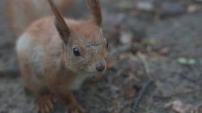 Zamyka w górę strzału czerwona wiewiórka która siedzi i oddycha zbiory wideo