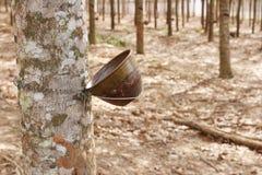 Zamyka w górę strzału gumowi drzewa Obraz Royalty Free