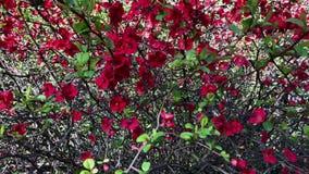 Zamyka w górę strzału kwiatonośny drzewo, ja tylko ostatnio pojawiać się jaskrawi kwiaty zdjęcie wideo