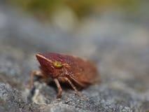 Zamyka w górę strzału pospolity froghopper Philaenus spumarius, fotografia nabierająca UK obraz stock