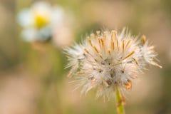 Zamyka w górę strzału puszysty trawa kwiat Fotografia Stock